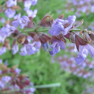 Herbs and a Radish